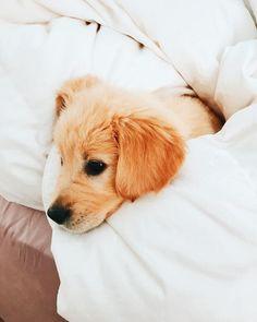 Golden retriever puppy. #goldenretriever
