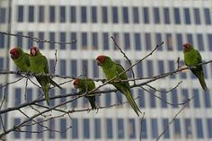 """""""Wild Parrots of Irvine, California"""" 