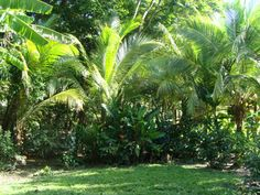 coconut trees we planted!