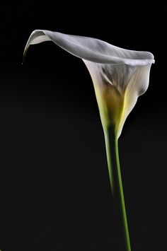 Arum Lily White or Pink Flowers