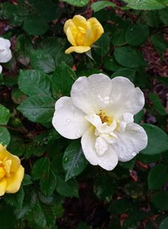 Gardenias, famous for their heady fragrance, creamy blooms and evergreen foliage, are hardy from Zones 7 to 10. They can be finicky, but once you smell that sweet perfume in your garden, you'll swear they are worth every little bit of extra attention. Read more about gardenias and five more beautiful spring-blooming shrubs at The Home Depot's Garden Club.