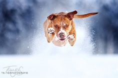 / powerful by Tanja Schneider Snow Dogs American Pit Bull Terrier Armenian Gampr Dog Photos, Dog Pictures, Canis Lupus, Flying Dog, Nanny Dog, Snow Dogs, Pit Bull Love, Family Dogs, Pitbull Terrier