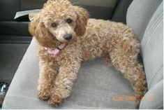 PICTURES OF TOY POODLES - Google Search