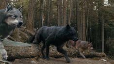 Wolves, shape-shifters. The Twilight Saga.