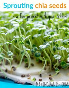 Sprouting chia seeds – a fun project with your toddler that teaches them about. Sprouting chia see Growing Sprouts, Growing Microgreens, Growing Seeds, Growing Vegetables, Growing Plants, Chia Seed Plant, Seeds Preschool, Preschool Science, Gardening