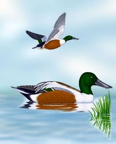 """Northern Shoveler - Whatbird.com  A favorite Lifer of 2012 ~ my parents spotted """"an odd duck-like bird"""" only a few miles from our house at some cranberry bogs.  They picked me up to go see, and thankfully, a gorgeous pair of Northern Shovelers were there for me to see!"""
