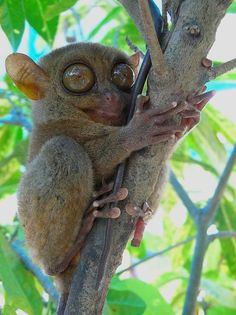 Tarsier: insect-eating creatures with eyes bigger than its brain, the huge eyes are for nocturnal hunting. the eyes are so big the skull is the same size as each of the eyes. living in south-east asia, they're also critically endangered Super Cute Animals, Cute Baby Animals, Funny Animals, Primates, Mammals, Reptiles, Australian Animals, Big Eyes, Large Eyes