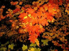 BEAUTIFUL VINE MAPLE ACER CIRCINATUM | Acer circinatum (vine maple)