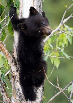 bl-ackleopard:  redwingjohnny:  Black Bear Cub by nancyjwagner on Flickr.  ☯ NATURE/WILDLIFE BLOG ☯