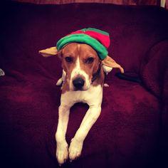 #beagle #elf