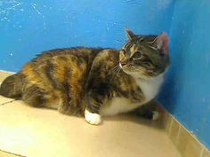 3 year old Buttons needs out of NYCACC NOW!!! TO BE DESTROYED 6/4/13 Brooklyn Center  My name is BUTTONS. My Animal ID # is A0966171. I am a spayed female calico amer sh mix. The shelter thinks I am about 3 YEARS old.  I came in the shelter as a STRAY on 05/22/2013 from NY 11423, owner surrender reason stated was STRAY.