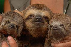 Cuties together. Their faces look kinda sad. I wish sloths in Brasil were not so vulnerable. :( - Animales en extincion. Hoy: Bicho Preguiça