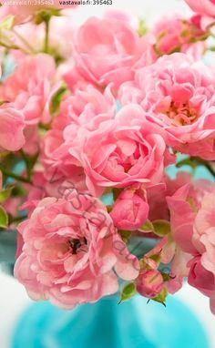 Kuva: Vaaleanpunaiset ruusut - ruusu pieni The Fairy vaaleanpunainen maljakko vesipisara nuppu - Kuvatoimisto - Photostock Vastavalo.fi