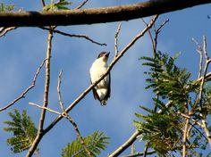 Aves Brasileiras * Anhambe-branco-de-rabo-preto *