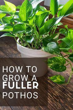 Pothos Plant Care, Plant Cuttings, Best Indoor Plants, Outdoor Plants, Potted Plants, Inside Plants, Cool Plants, Pathos Plant, House Plants Decor