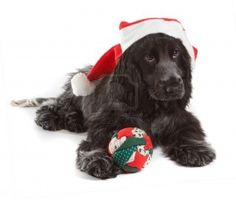 Christmas Cocker Spaniel Puppy #Holiday #Dogs
