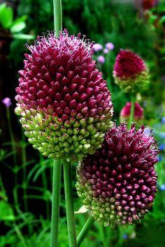 """Allium Sphaerocephalon """"drumstick""""."""
