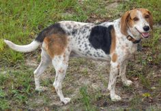 Hi, my name is Sammie. I am a Hound who was born sometime in 2009 or 2010. I am the sweetest girl you will ever meet. I'm about 35 pounds - I am a nice smaller size. I love people, other dogs, and kids. I think I'd be fine with cats. I was a stray...