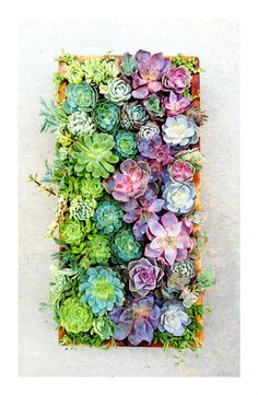 vertical succulent wall art  Item shown is 24x24inches    What you should know:  The frame of the succulent wall is filled with bare root succulent plants, and left horizontal to root. This can take several weeks for them to root enough to hold them in place.    Care:  water well to completely wet the soil, and then allow to dry out completely. Be careful not to wash out the soil by using a very fine spray. Fertilize sparingly. The wall will need to be in bright light for best growth.