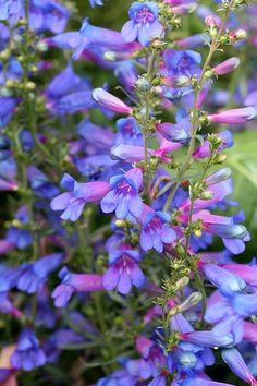 Penstemon heterophyllus (Native Plant)