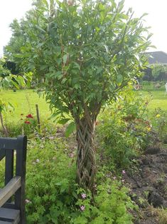 The trunks on the braided willow have almost completely inosculated. #living sculptures