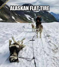 Alaskan Flat Tire | Click the link to view full image and description : ) Alaskan Flat Tire, Funny Pictures With Captions, Best Funny Pictures, Best Memes, Make You Smile, Funny Dogs, Hilarious Jokes, Funny Memes, Videos Funny