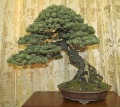 25-pine.jpg (1500×1342)