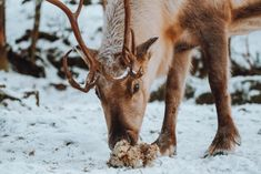 Wild reindeer in Iceland