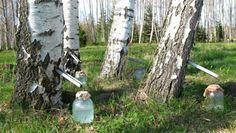 Seva de mesteacăn, remediul miraculos care a uimit medicii - Frunza Verde Betula Pendula, Organic Acid, Diuretic, Edible Plants, Camping Survival, Survival Stuff, Birch Bark, Wine Making, Bushcraft