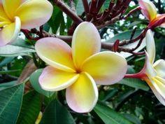 Hawaii  Lanai Plumeria ~ 10 seeds
