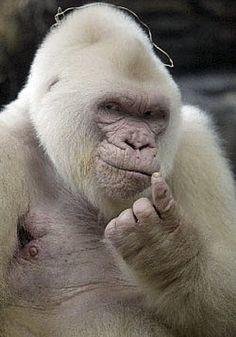 "(albino gorilla) ""hey, come here, wanna know my secret?"""