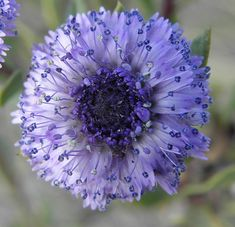 Globularia alypum Globularia alypum Globularia is a genus of about 22 species of flowering plants in the family Plantaginaceae, native to central and southern Europe, Unusual Flowers, All Flowers, Amazing Flowers, Beautiful Flowers, Purple Flowers Wallpaper, Trees To Plant, Beautiful Gardens, Planting Flowers, Flowering Plants