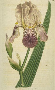 vtg botanical print iris