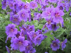 Vijver en Tuincentrum Pelckmans: Geranium himalayense