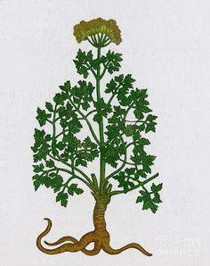Parsley - petroselinum crispum - salsinha