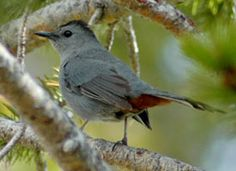 Gray Catbird: Sounds like a cat mewing. I have one that sits for hours each day sunning itself in a forsythia shrub.