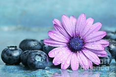Blueberries and daisy Photograph - Blueberries and daisy Fine Art Print - Sandra Cunningham