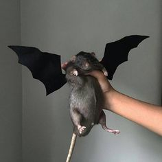 Wish I did this when I had my baby rats 🐀 Funny Rats, Cute Rats, Animals And Pets, Funny Animals, Cute Animals, Black Rat, Dumbo Rat, Rat Cage, Pet Costumes