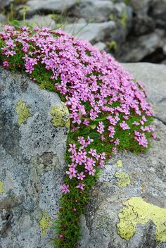 creeping phlox in Tessuto di Carta Rari 🌹 Rock Garden Plants, Gravel Garden, Garden Stones, Alpine Garden, Alpine Plants, Rock Flowers, Wild Flowers, Beautiful Gardens, Beautiful Flowers
