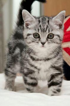 Cute little stripy kitty #cats #babycat https://www.nojigoji.com.au/