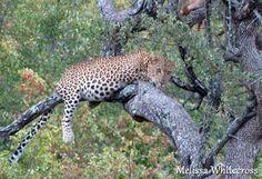 Leopard - Letaba, KNP