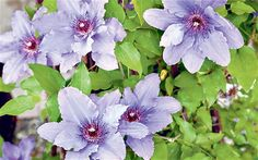 'Parisienne', considered the best for two flower flushes ARTICLE: Clematis: colour for confined spaces
