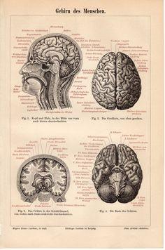 1894 Human Brain Anatomy Antique Print Gehirn des by Craftissimo, €14.95