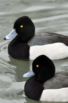 The Lesser Scaup (Aythya affinis) is a small North American diving duck that migrates south as far as Central America in winter.