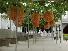 Hanging Pumpkins Epcot Behind the Seeds Tour tami@goseemickey.com