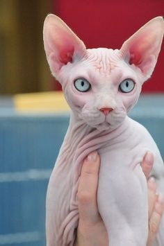 sphynx cat.  these guys are cool.