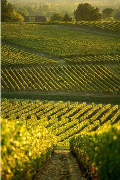 Bordeaux - vignoble de Sauternes.