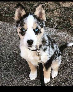 Husky and australian cattle dog mix australian shepherd dog breed information beliebte bilder different dog breeds dogs dogs breed dogs Cute Funny Animals, Cute Baby Animals, Funny Dogs, Funny Puppies, Cute Dogs Breeds, Cute Dogs And Puppies, Doggies, Cute Dog Mixes, Baby Dogs