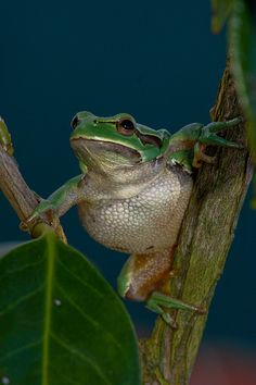 Froggie with a Big Attitude