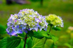 「時空トラベラー」 : 紫陽花